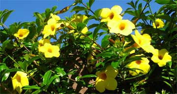 allamanda growing on fence