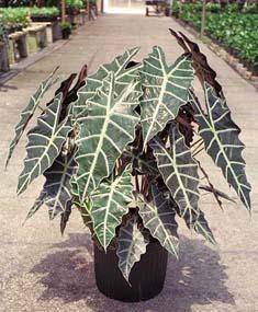 alocaisa amazonia