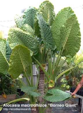 Alocasia macrorrhizos Borneo Giant