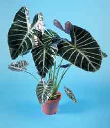 Alocasia hybrid