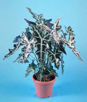 Alocasia Sanderiana