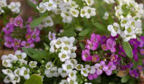 sweet alyssum purple and white flowers