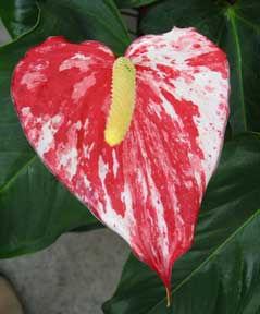 Splash Anthurium Hawaii tropical flowers