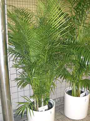 Add Humidity To Your Room With Areca Palm