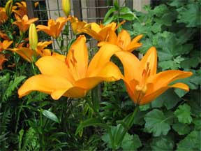 asiatic lily flowering