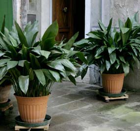 Cast Iron Plant Care: Aspidistra Elatior