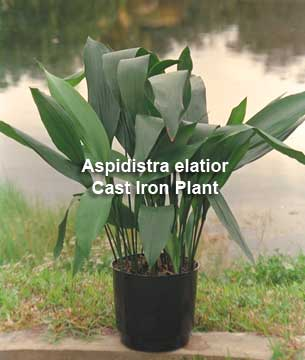 Cast Iron Plant - Aspidistra