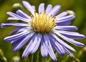 smooth blue aster close up