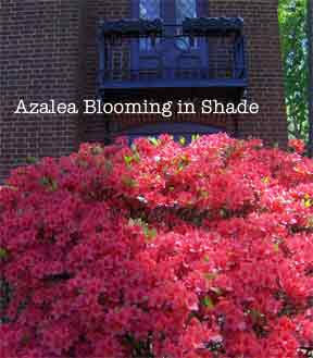 Azalea blooming in shade