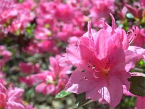 Colorful pink Azalea in flower