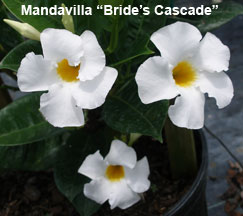 Brides Cascade mandavilla