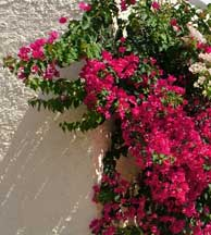 bougainvillea adds color to a small backyard landscape design
