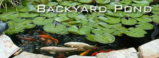 attractive backyard pond with koi