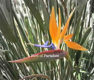 bird of paradise flower up close