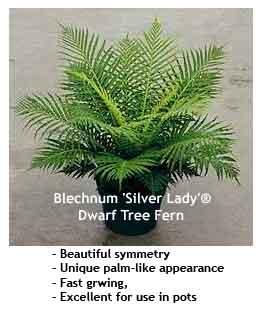 blechnum-silverlady.jpg