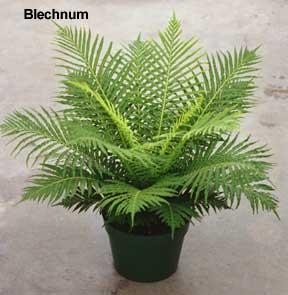 blechnum tree fern