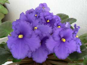 african violet soft lavender blooming