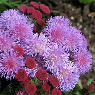 Colorful ageratum and blue for the landscape