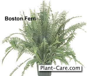 old time boston fern