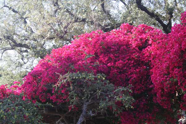 Colorful bougainvillea in the landscape