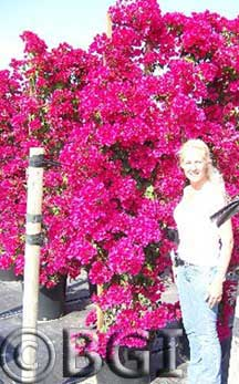 Bougainvillea large red