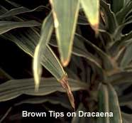 brown tips on houseplants are often caused by fertilizer