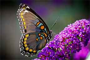 Butterfly Bush Maintenance on Homeowners  That   S Where Butterfly Bush Pruning Comes Into Play