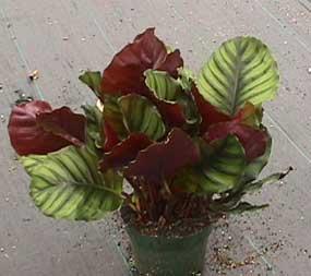 Calathea rotundifolia