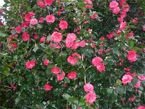 camellia flowering in the landscape as a shrub