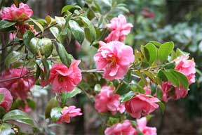 camellias coloring the landscape