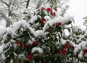 camellias covered in snow