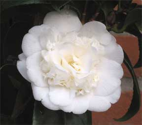 Camellia flower up close