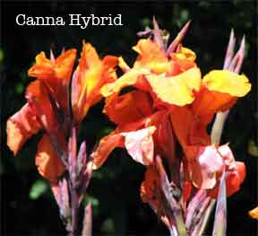 blooming hybrid canna