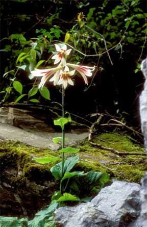Blooming Cardiocrinum giganteum in China