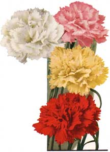 carnations of many colors