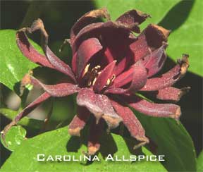 Blooming carolina allspice