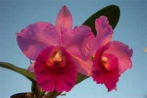 colorful flowering Cattleya