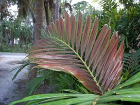 Chambeyronia macrocarpa - the red leaf palm