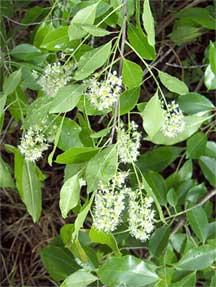 cherry laurel prunus caroliniana