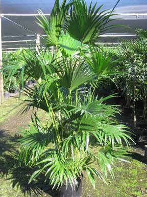 Livistona chinensis - Chinese Fan Palm