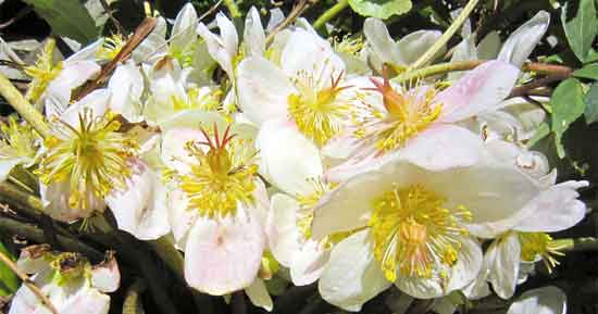 multiple blooms of the lenten Christmas rose