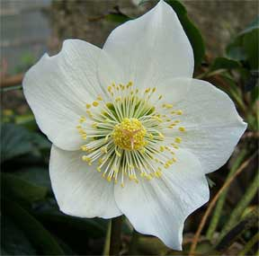 helleborus niger the Christmas Rose