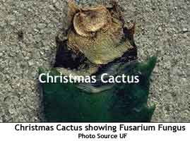 Christmas+cactus+diseases+pictures