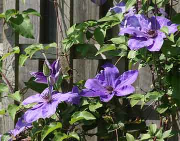 Hardy purple flowering Clematis on trellis