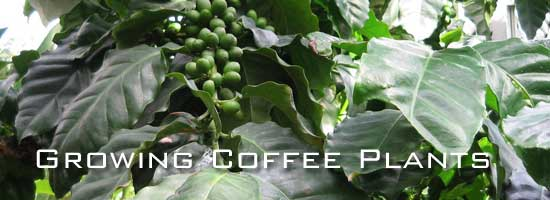 coffee plant with beans unripe