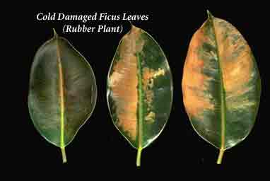 Thumbnail image for What Does Cold Damage On Tropical Plants Look Like?