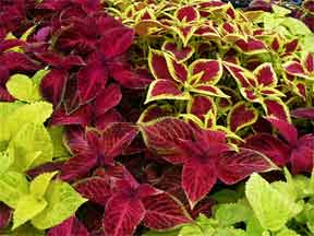 coleus assorted red