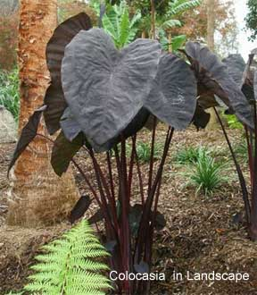 colocasia black magic planted in the landscape