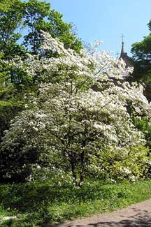 Cornus the Dogwood in flower