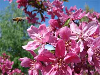 Colorful Flowering Crabapple Tree